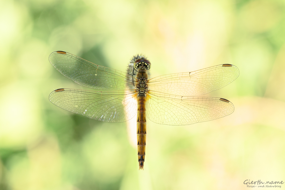 Sympetrum depressiusculum - Sumpfheidelibelle