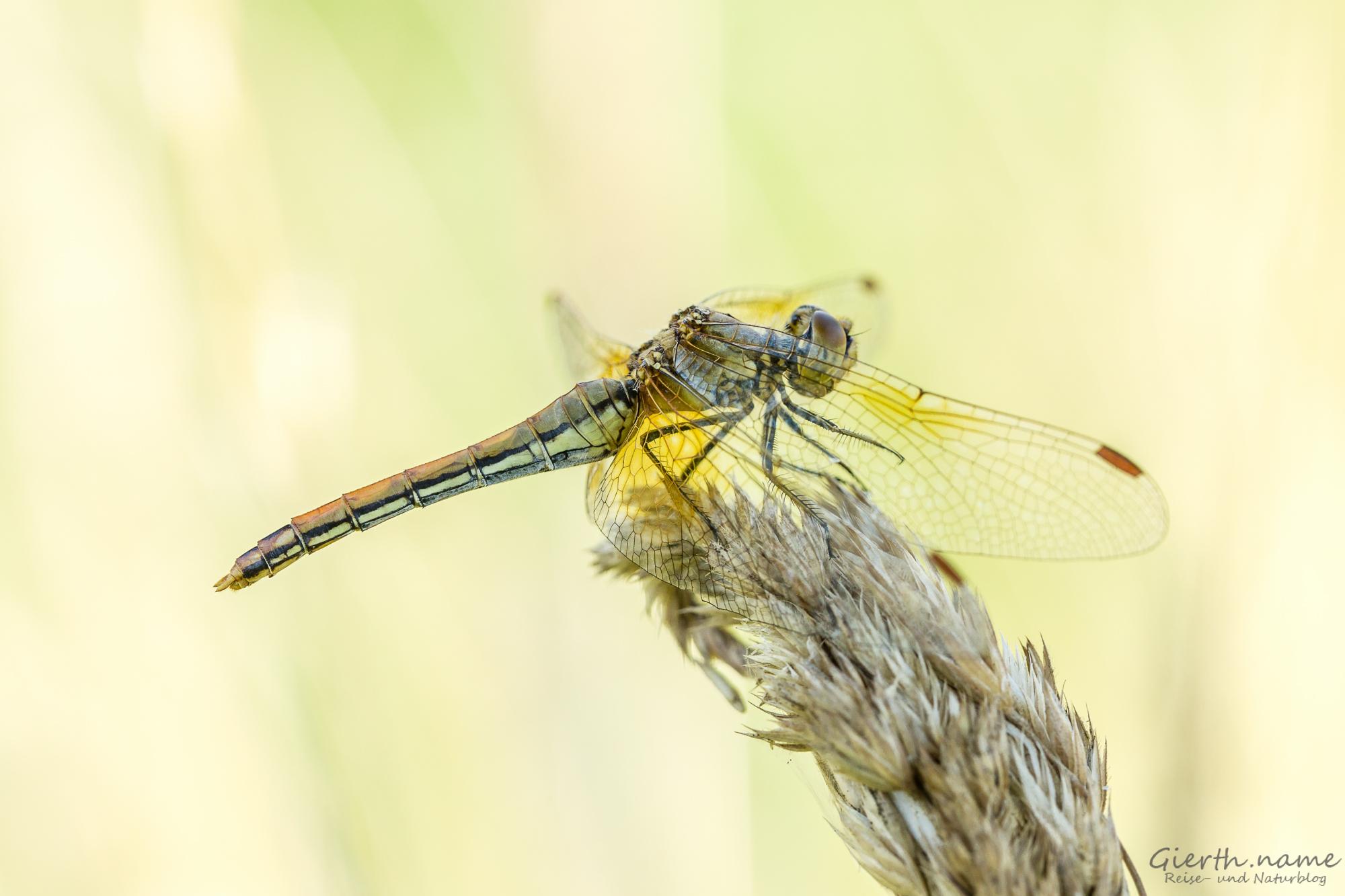 Sympetrum flaveolum - Gefleckte Heidelibelle