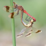 Sympetrum pedemontanum - Gebänderte Heidelibelle