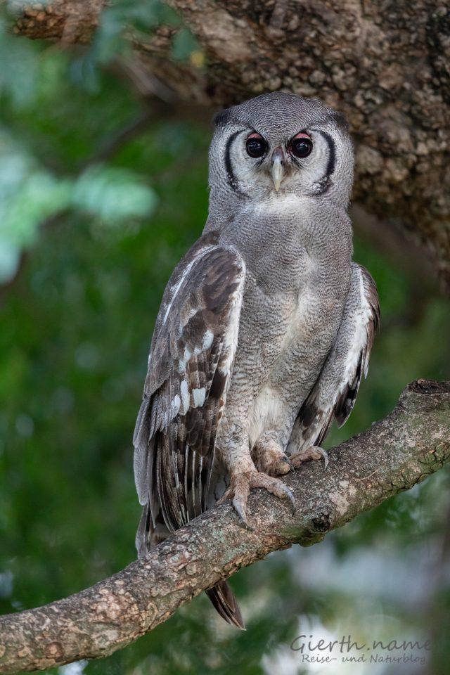 Blaßuhu / Milchuhu - Veraux' Giant Eagle Owl - Bubo lacteus