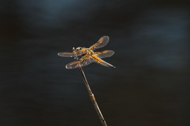 Vierfleck – Libellula quadrimaculata - auf seiner Sitzwarte