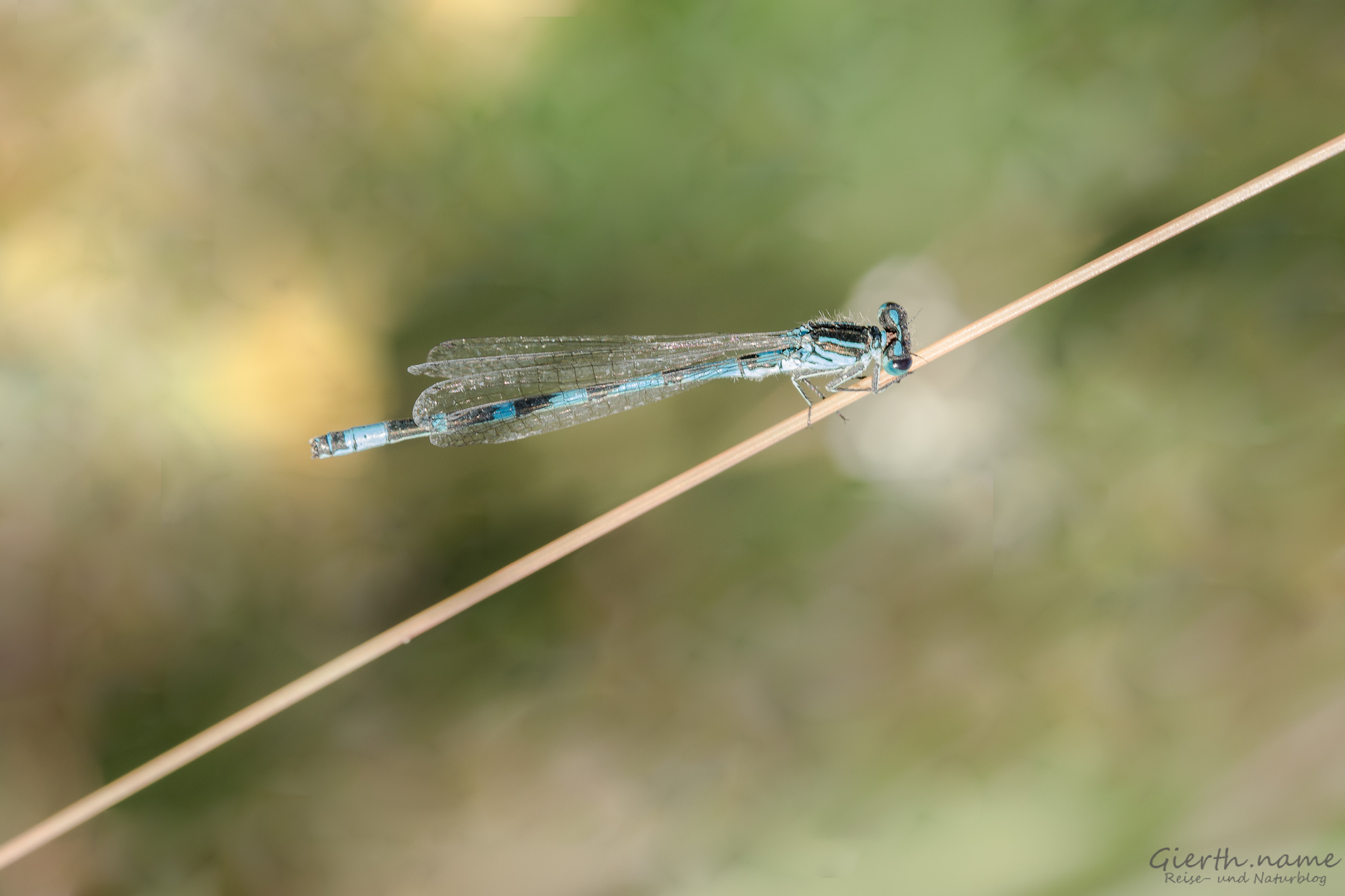 Vogelazurjungfer - Coenagrion ornatum