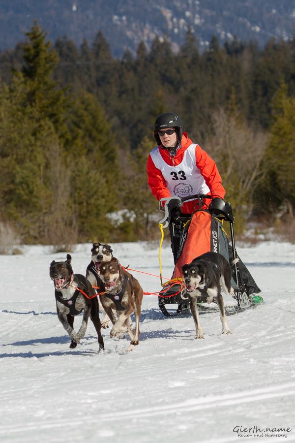 Vierer-Gespann beim Schlittenhunderennen