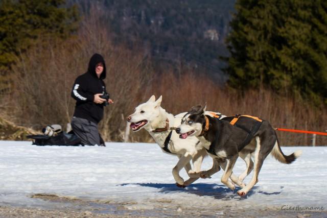Bundeskater mit Flitzehunden beim Schlittenhunderennen