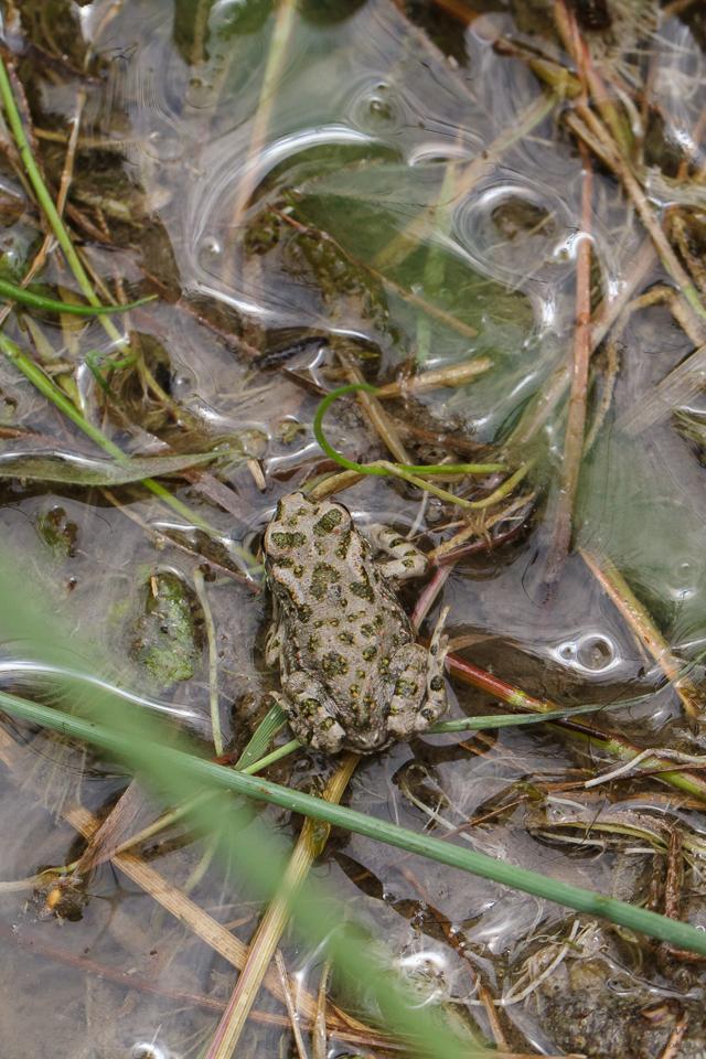 Wechelkröte - Bufotes viridis