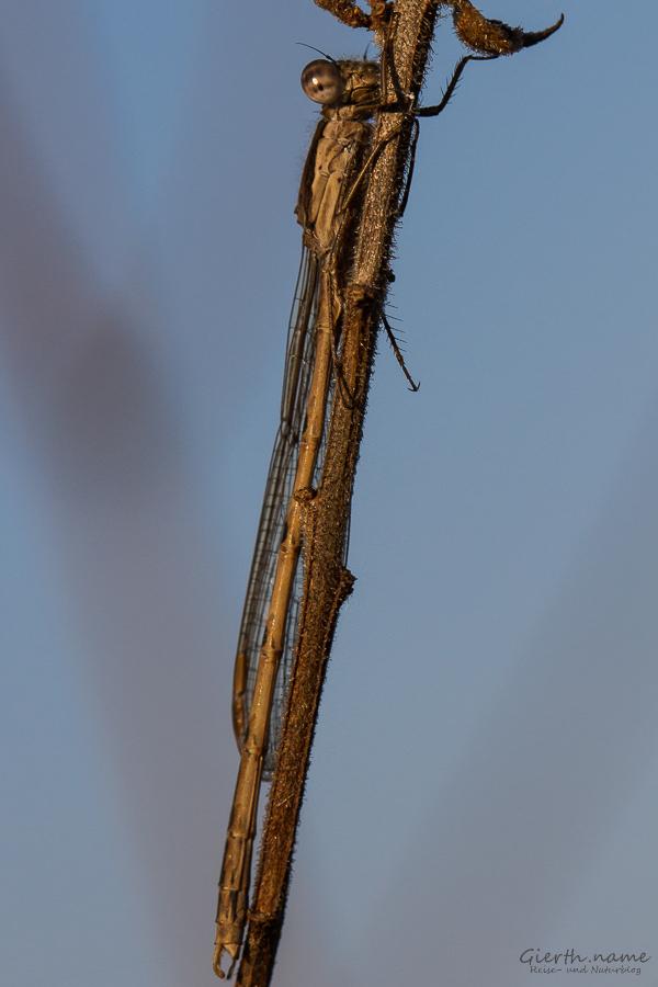 Die Libellensaison hat auch in München-Riem begonnen