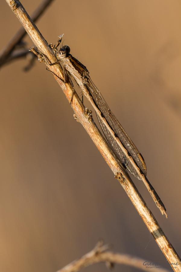 Gemeine Winterlibelle - Sympecma fusca