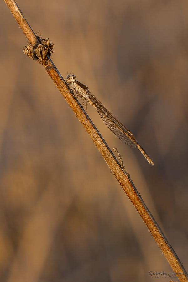 Gemeine Winterlibelle (Sympecma fusca)