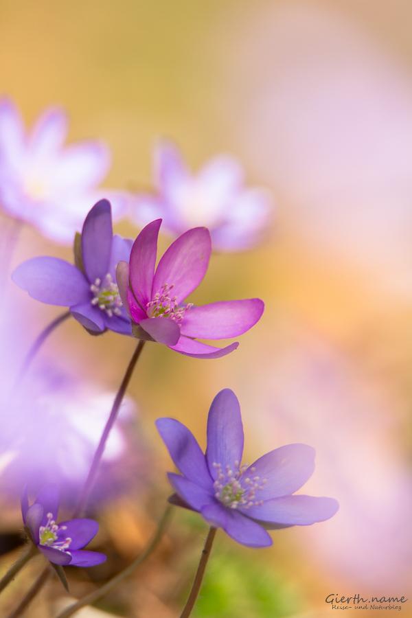 Leberblümchen in blau und rosa
