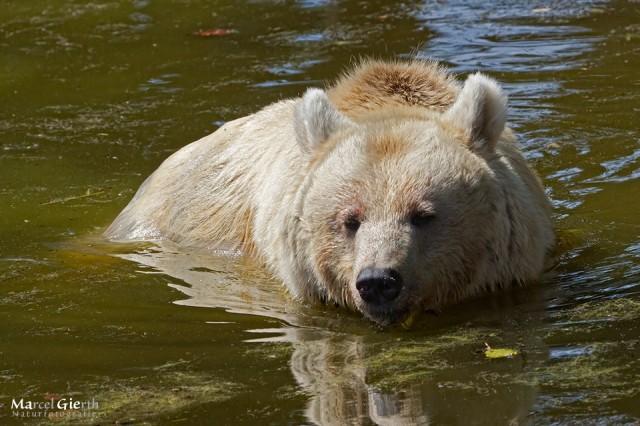 Bär im Bärenwaldweiher
