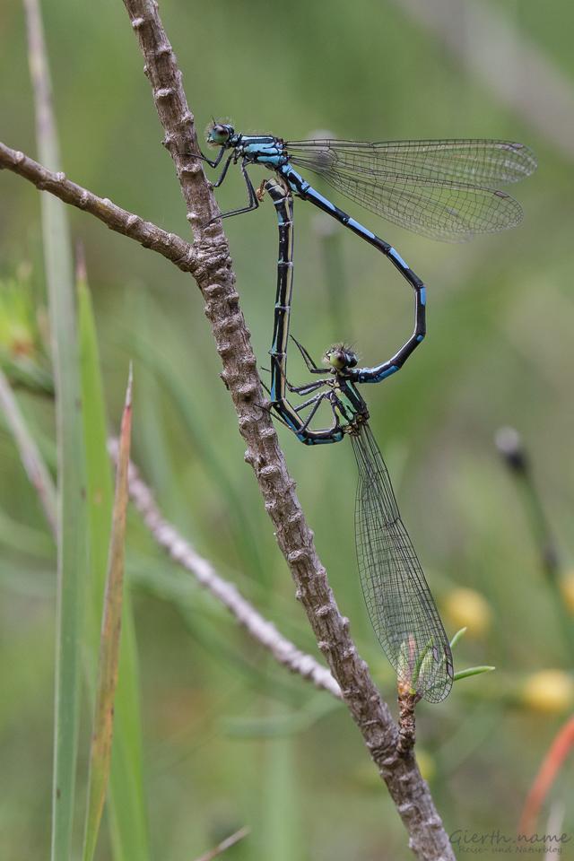 Paarungsrad Bileks Azurjungfer (Coenagrion hylas)