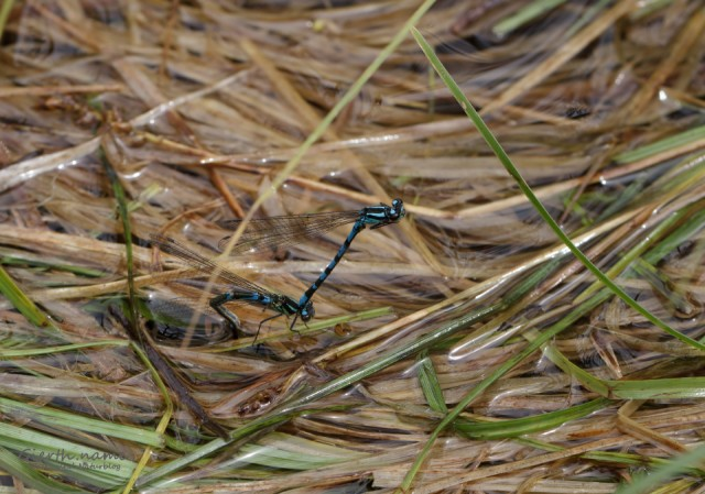 Sibirische Azurjungfer - Bileks-Azurjungfer - Siberian Bluet - Coenagrion hylas