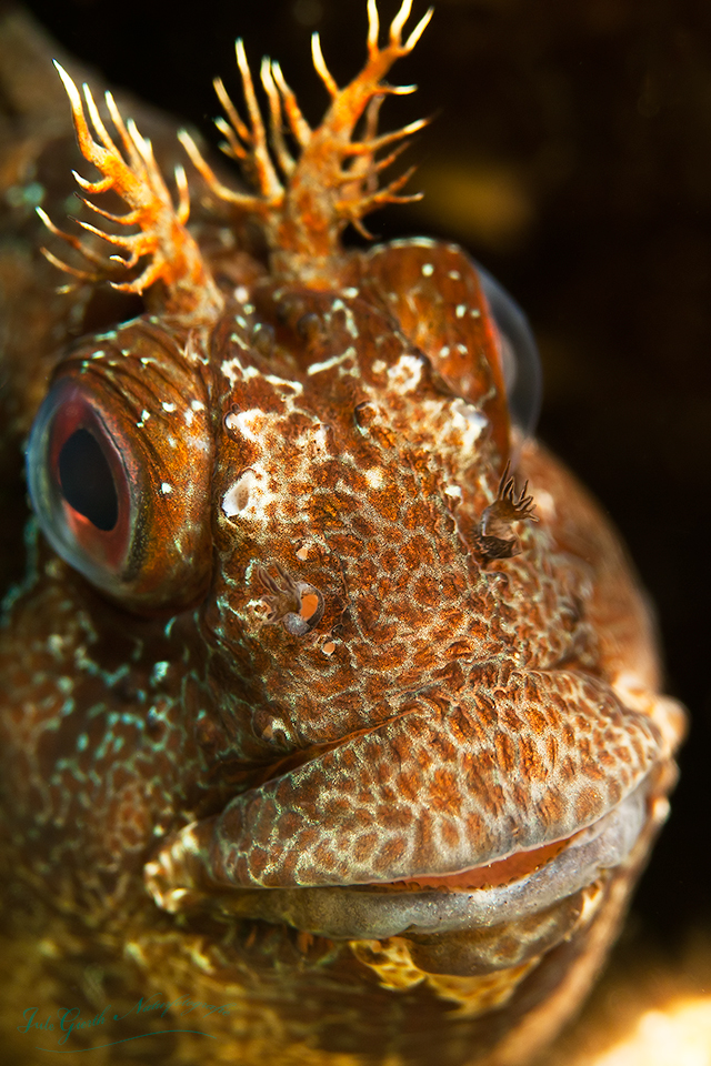 Blenny, Croatia