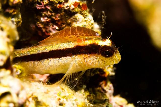 Schleimfisch mit Wasserassel