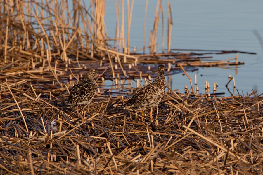 Bruchwasserläufer am Riemer See