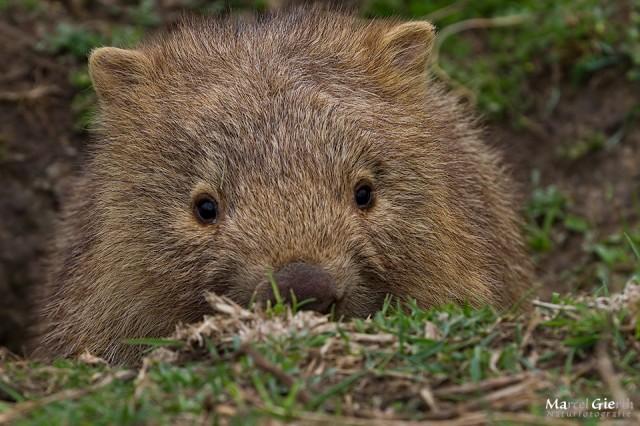 Schüchternes Teenage Wombat