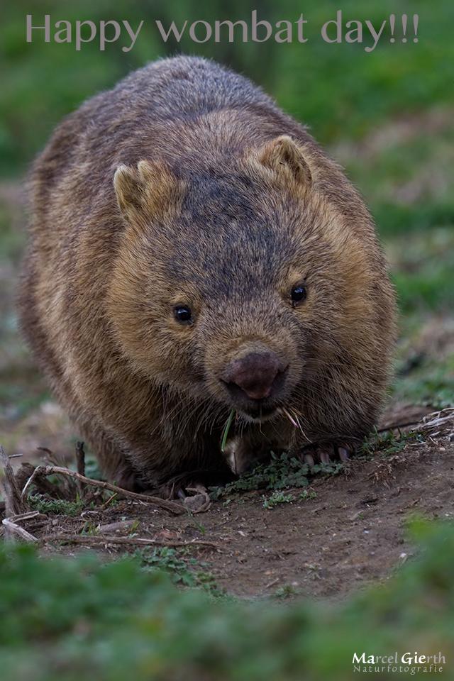 Happy wombat day