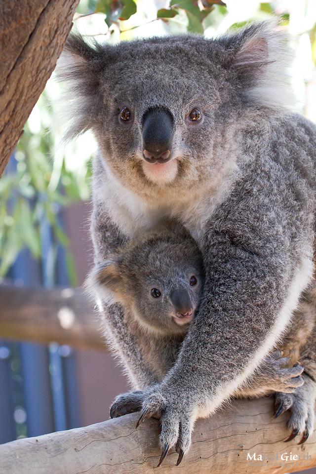 Koala Mutti mit Baby