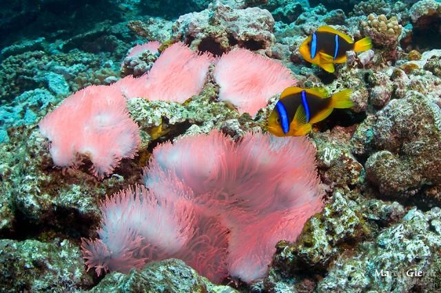 Nemos und ihre pinke Anemone
