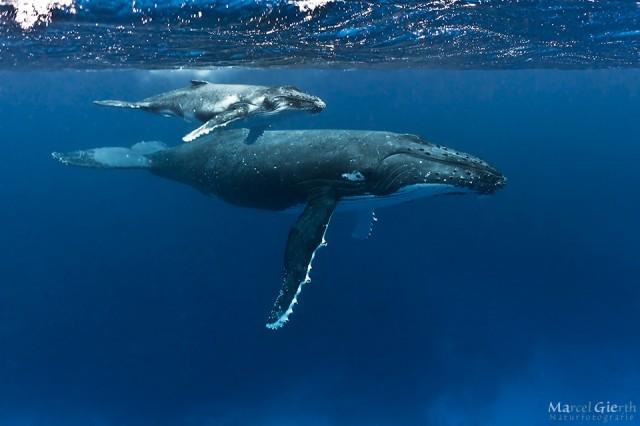 Wale in Tonga