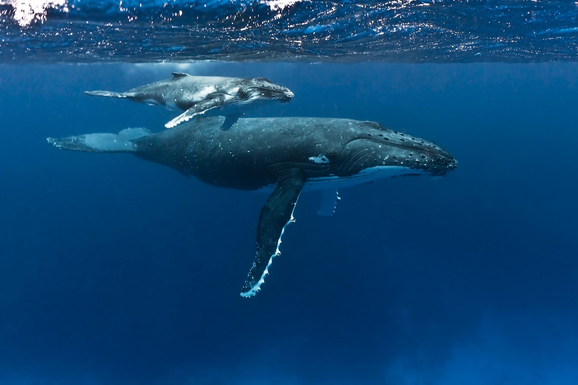Buckelwale in Tonga - Humpback whales in Tonga