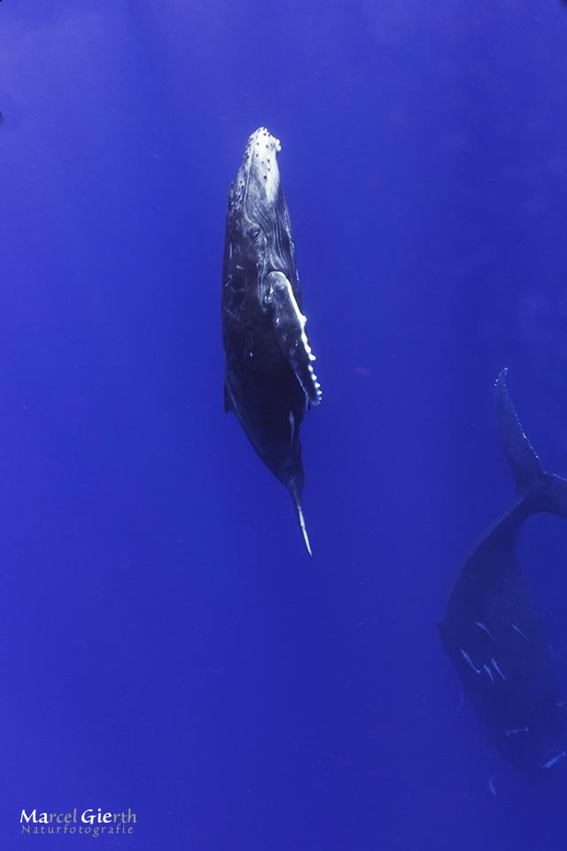 Erste Buckelwalbegegnung