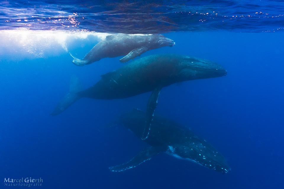 Die Buckelwalfamilie, Kalb, Muttter und Escort