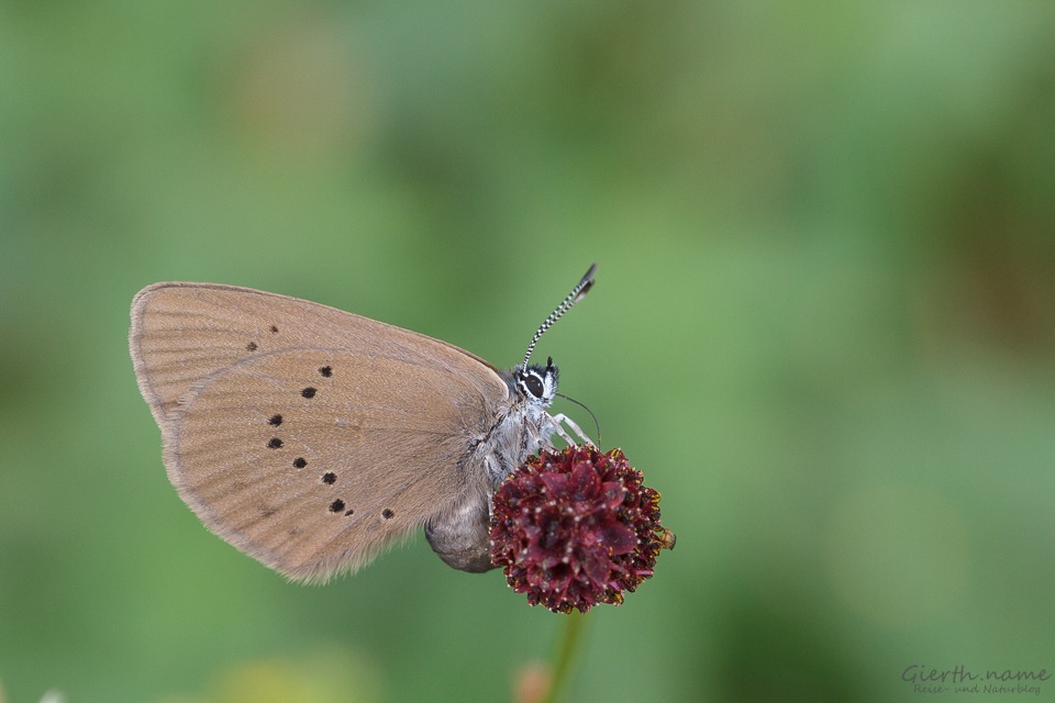 Maculinea nausithous - Dunkler Wiesenknopf Ameisenbläuling