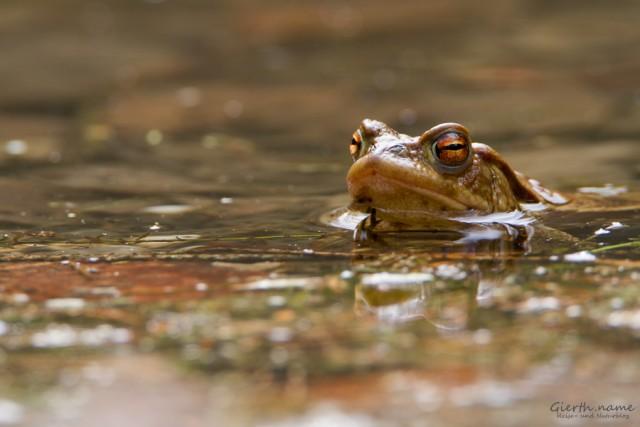 Bufo bufo - Erdkröte(n)