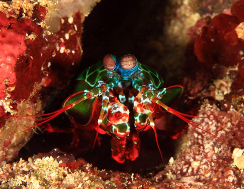 Fangschreckenkrebs, Philipinen