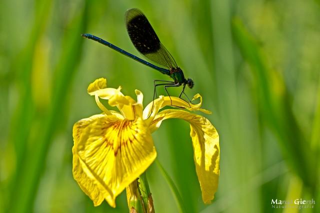 Gebänderte Prachtlibelle - Männchen - auf Lilie