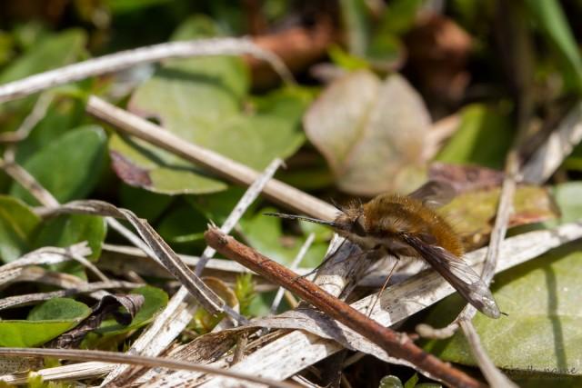 Großer Wollschweber – Bienentod mit langem Rüssel