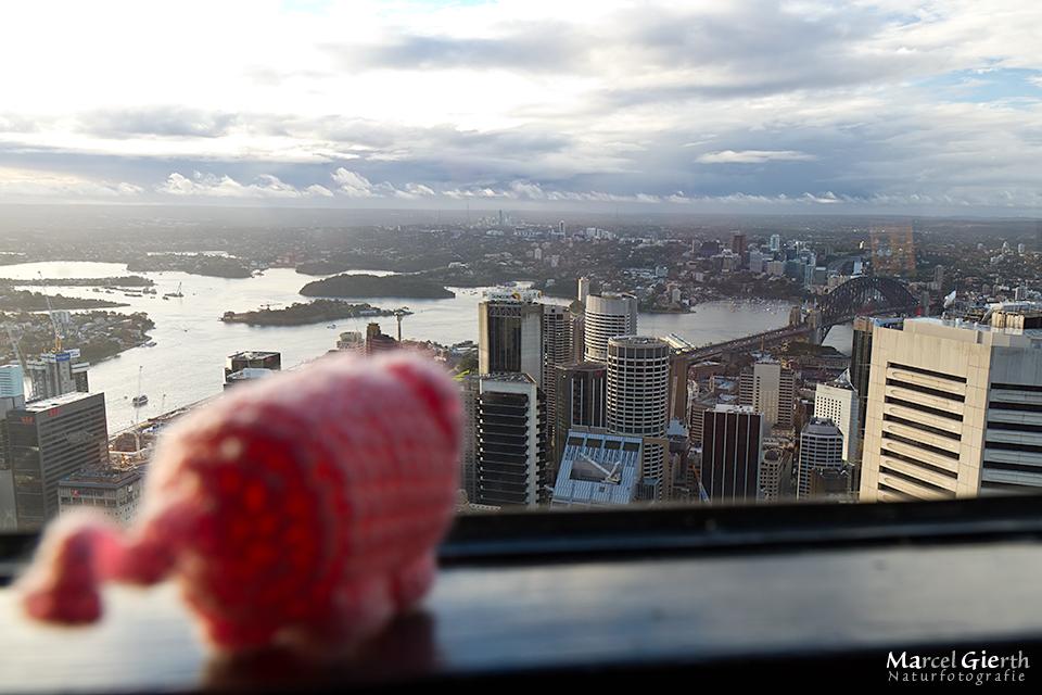 Herr Käkelschwein blickt über Sydney