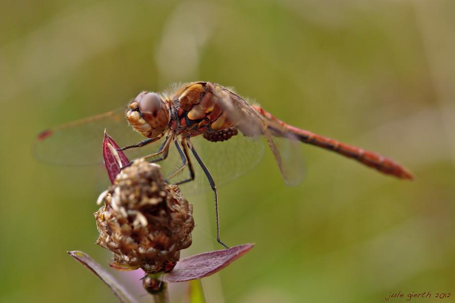 Gemeine Heidelibelle mit Milben