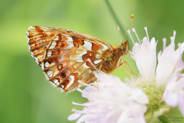 Hochmoor-Perlmutterfalter (Boloria aquilonaris) i