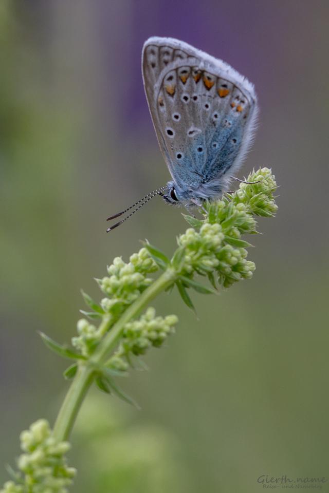 Polyommatus icarus - Gemeiner Bläuling