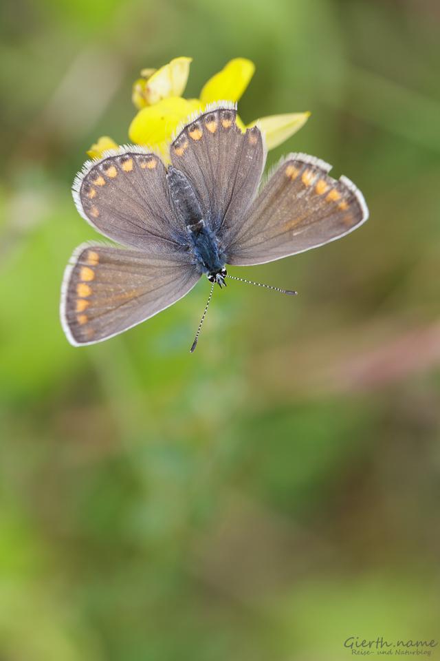 Weibchen des Gemeinen Bläulings - olyommatus icarus