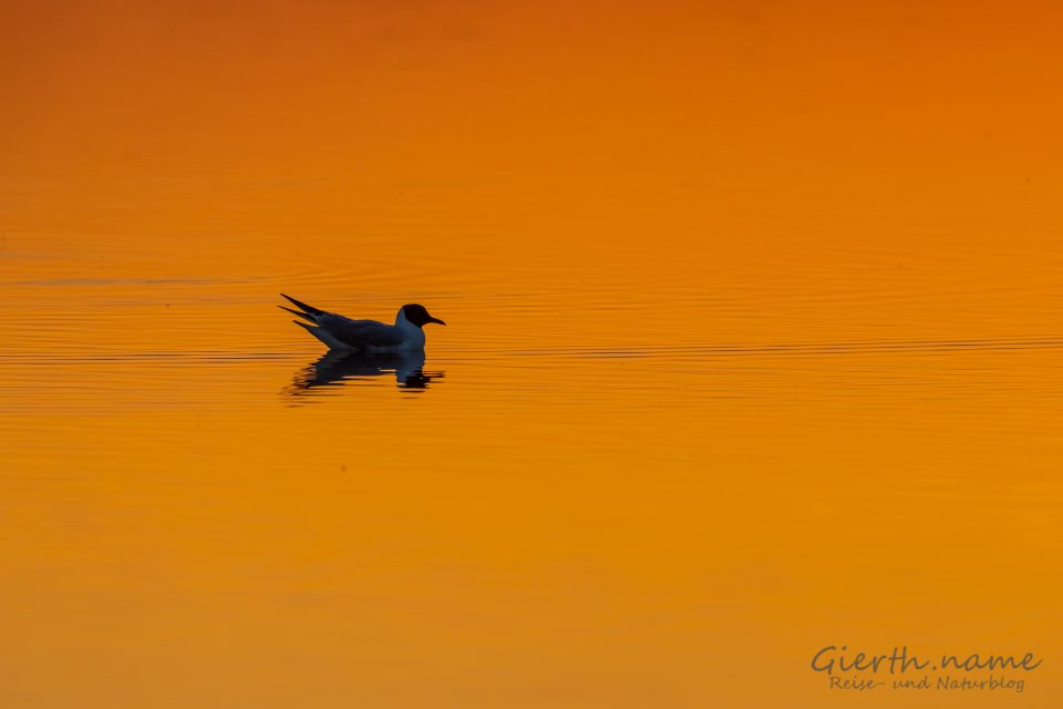 Lachmöwe im Sonnenuntergang