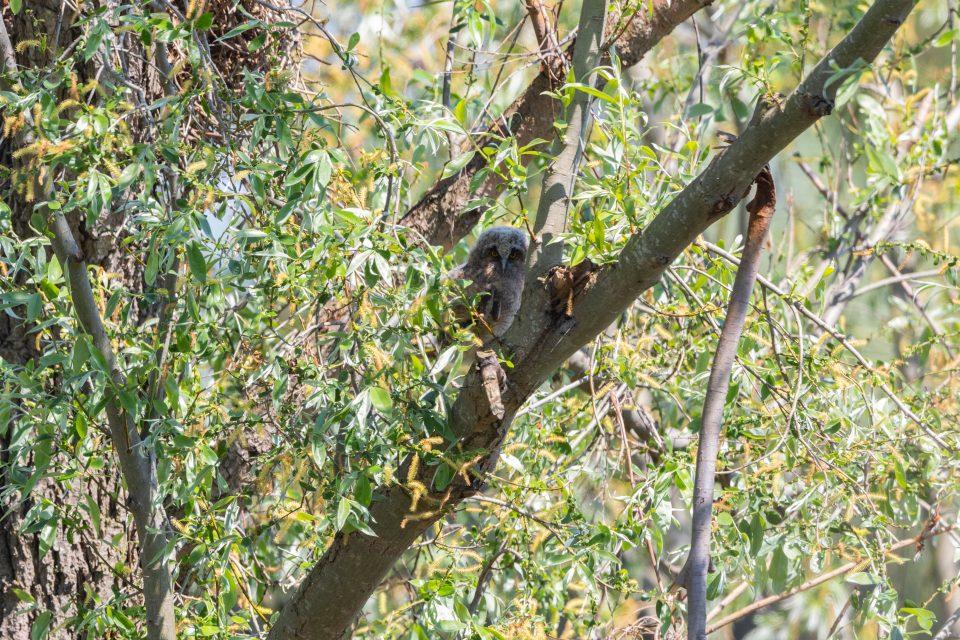 Waldohreulen Ästling im Podelta