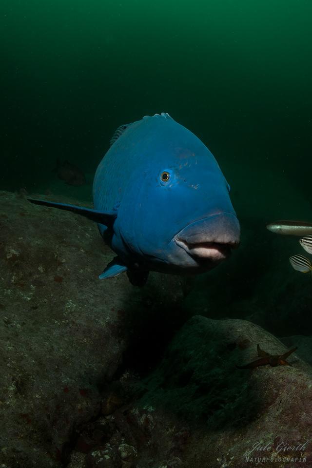 Blauer Fisch, Australien