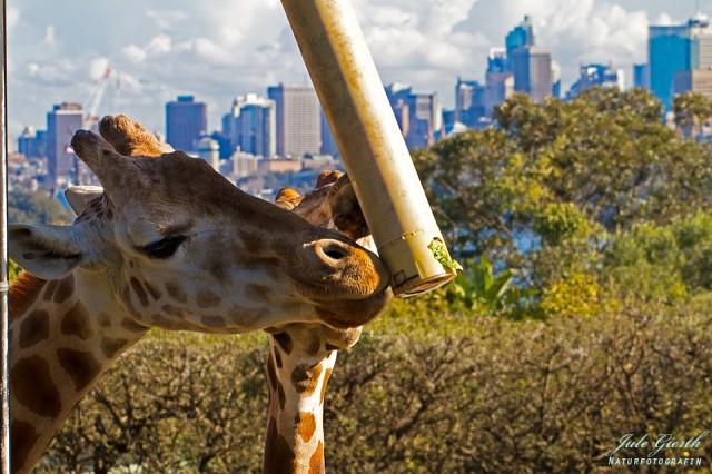 Giraffen mit toller Aussicht