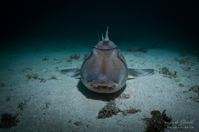 Port-Jackson-Stierkopfhai