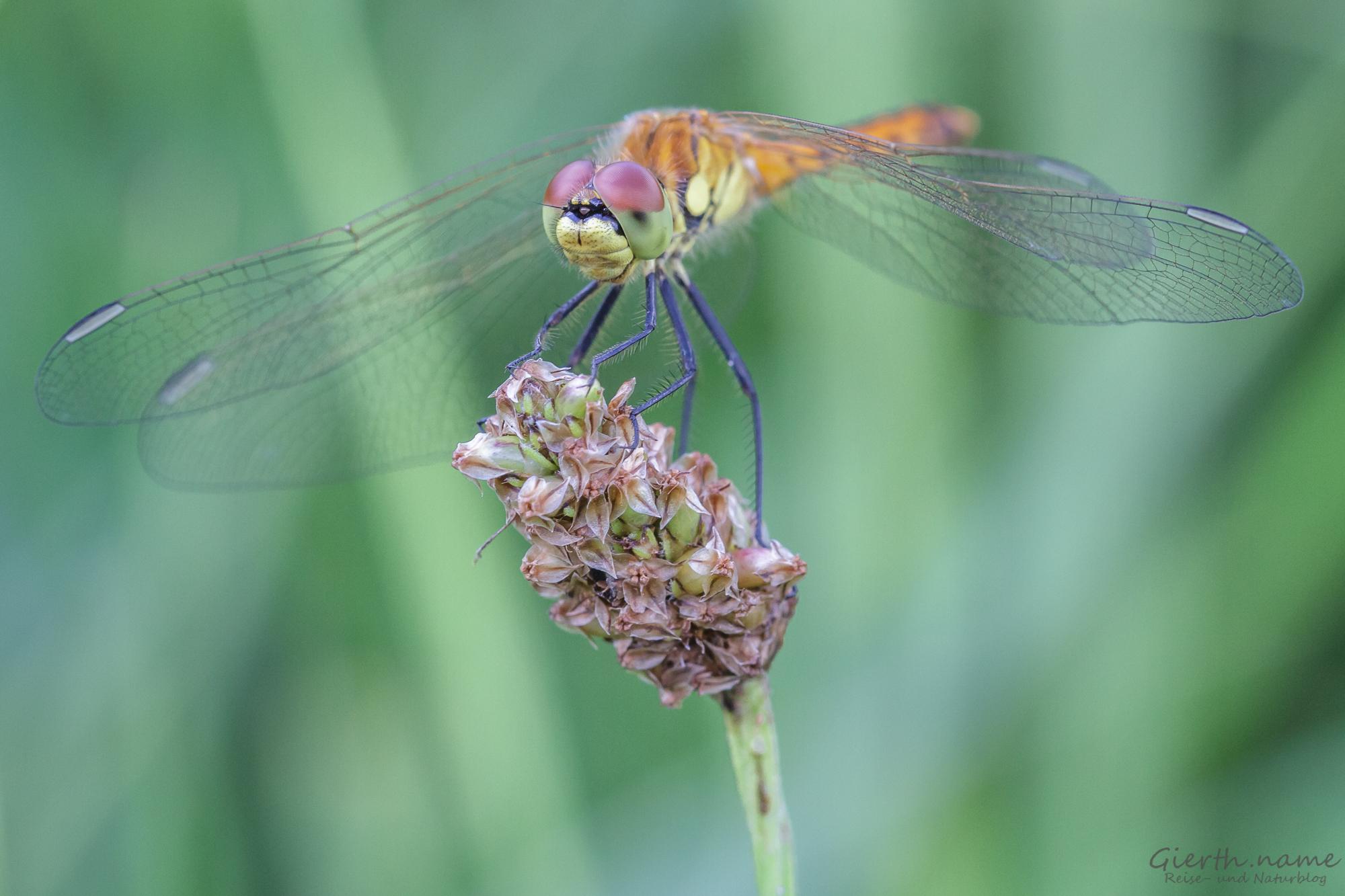 Sympetrum depressiusculum - Sumpf-Heidelibelle