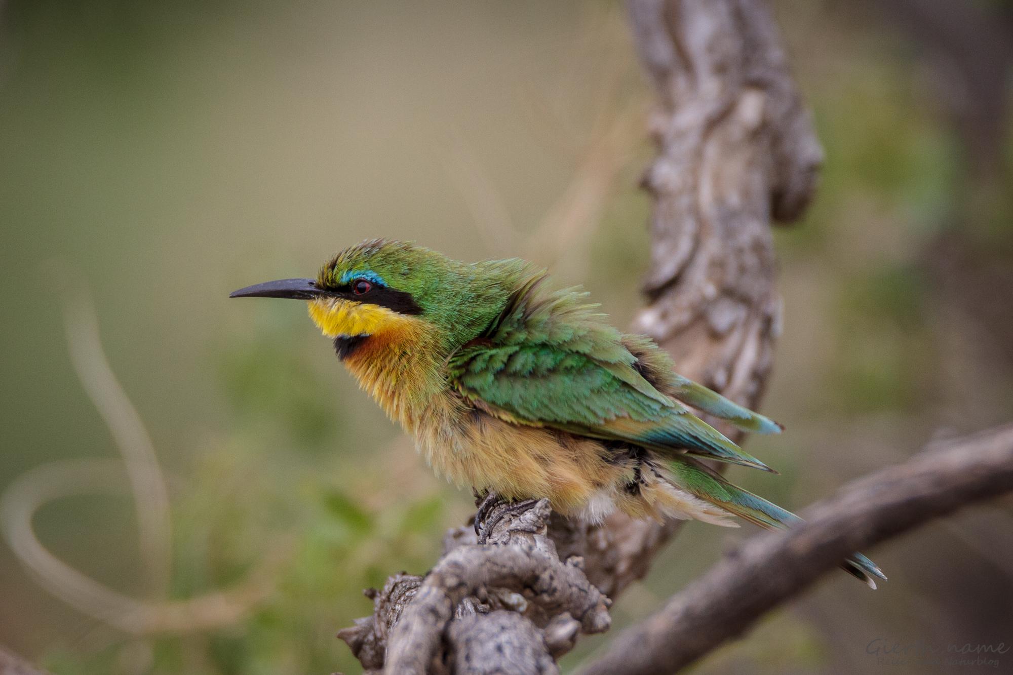 Zwergspint - Little bee-eater - Merops pusillus