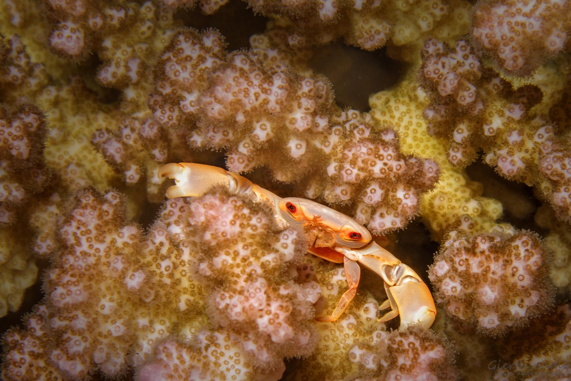 Korallenkrabbe