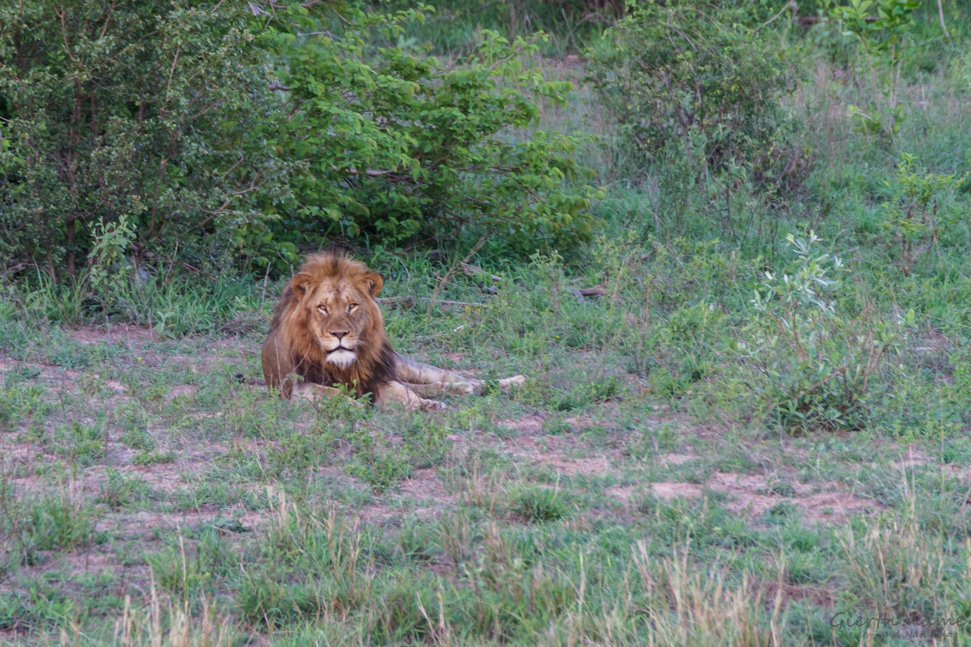 Unser erster Löwe im Park