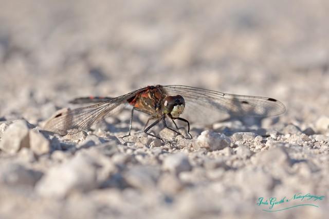 Kleine Moosjungfer (Leucorrhinia dubia)