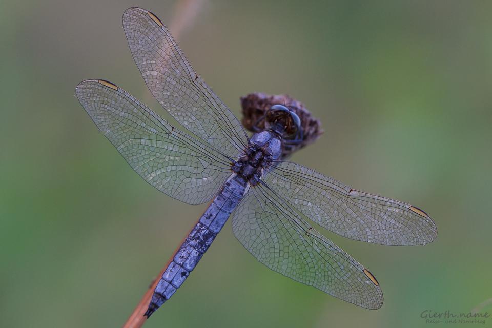 Ausgefärbter Kleiner Blaupfeil - Orthetrum coerulescens