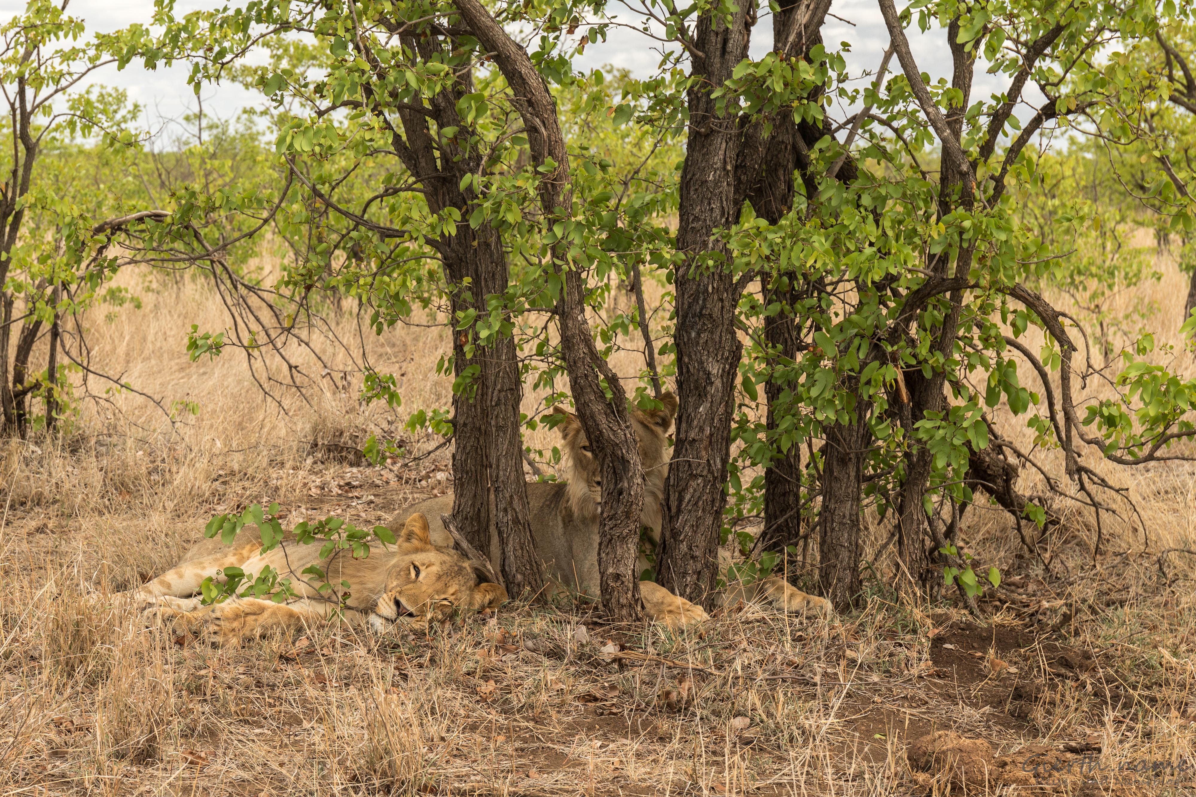 Löwen im Busch