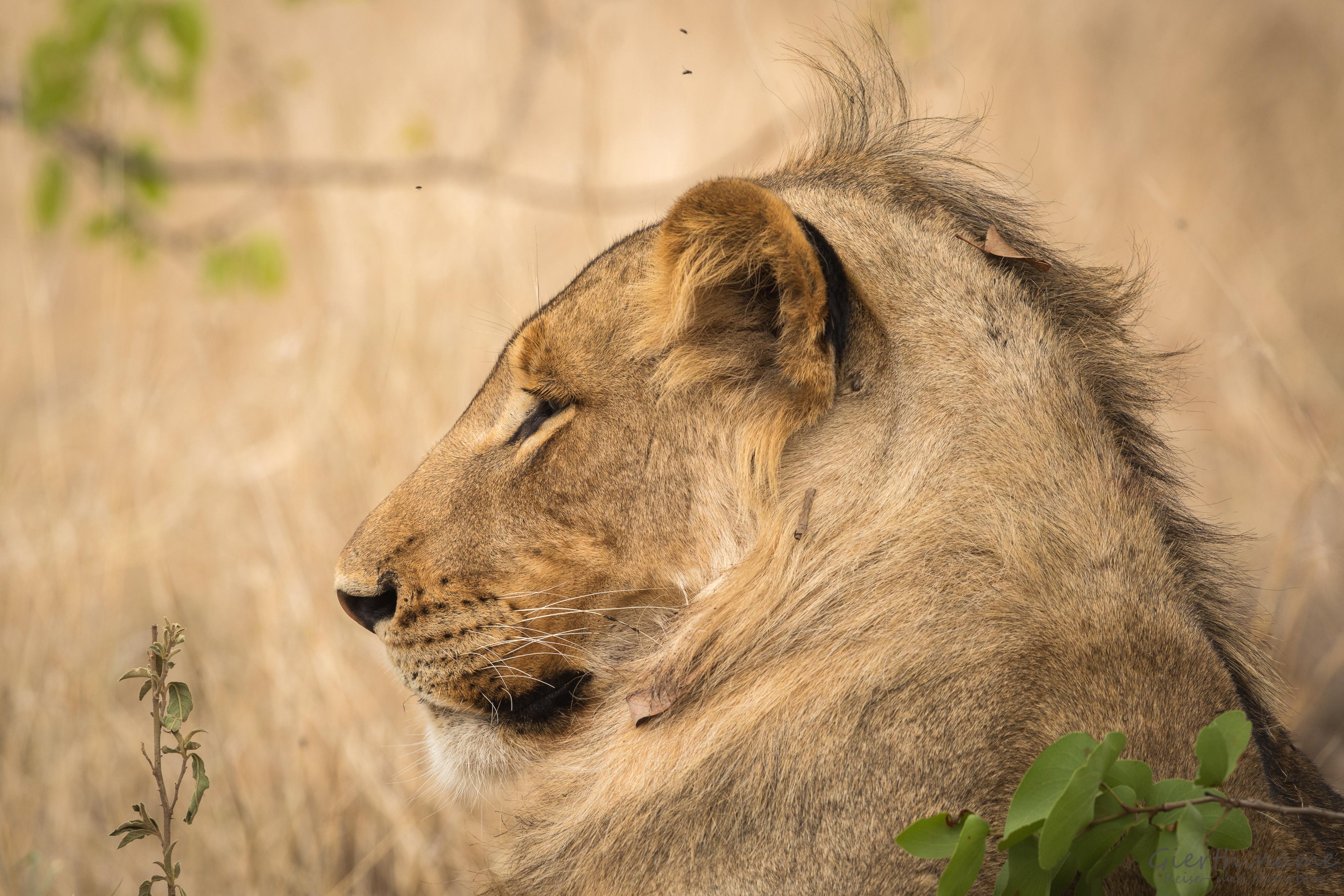 Löwenprofill